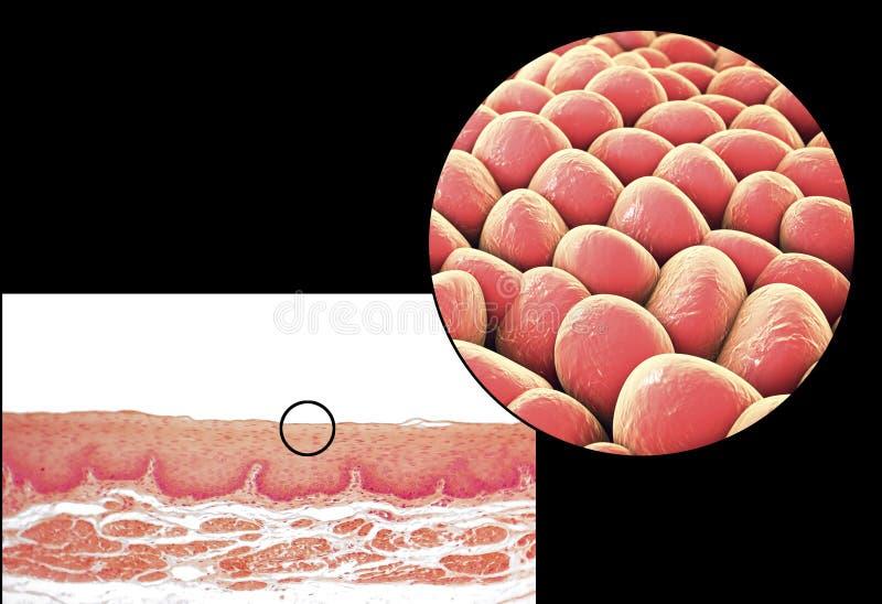 Mänskliga celler, micrograph och illustration 3D royaltyfri bild