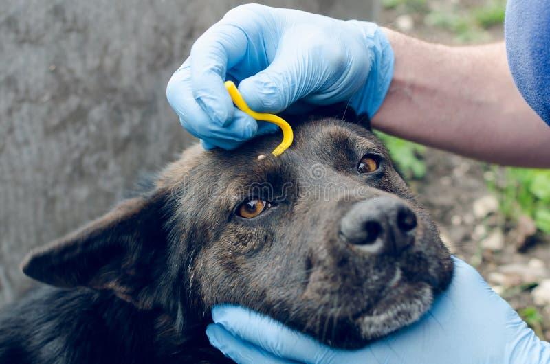 Mänskliga händer i blåa handskar tar bort fästingen med kroken av hunden arkivfoton