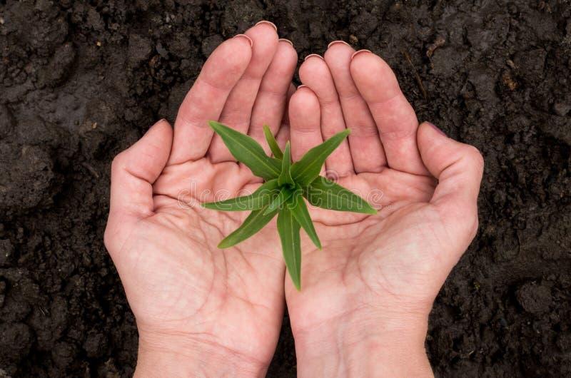 Mänskliga händer skyddar den unga växten royaltyfri foto