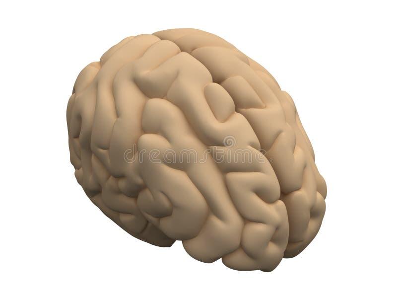 mänskliga hjärnhalvklot vektor illustrationer