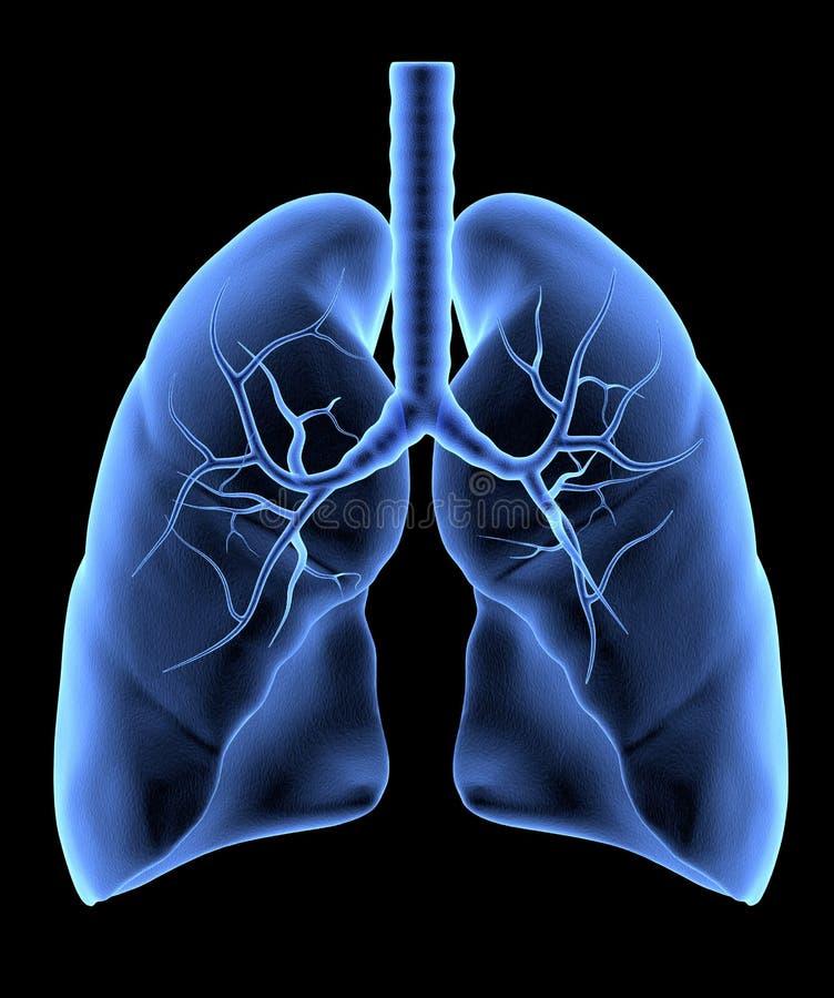 Mänskliga lungor vektor illustrationer