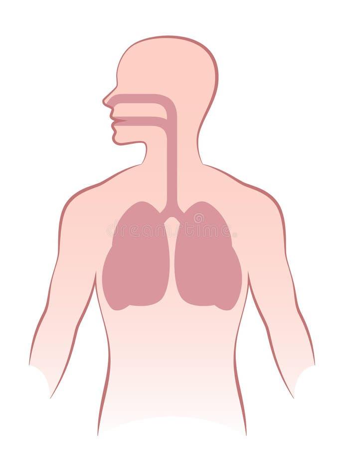 Mänskliga lungor stock illustrationer