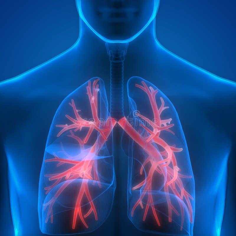 Mänskliga lungor inom anatomi (Bronchioles) vektor illustrationer