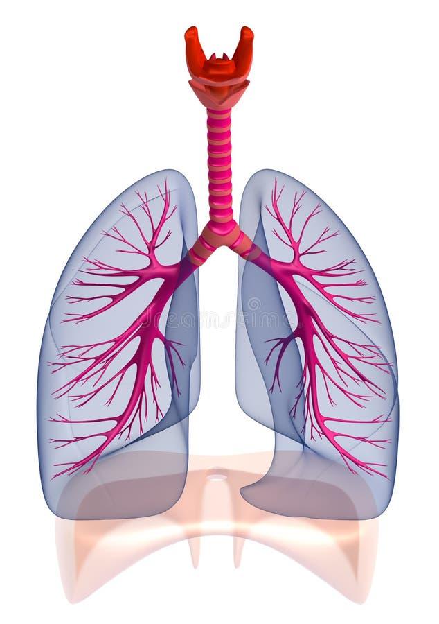 Mänskliga lungor och luftrör som isoleras royaltyfri illustrationer