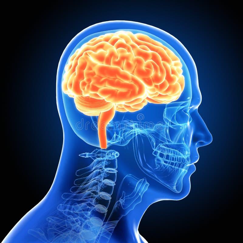 Mänskliga manliga Brain Scan royaltyfri illustrationer