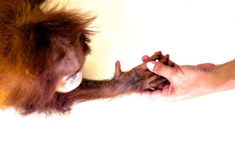 Mänskliga mummel D som är hållande på orangutang, behandla som ett barn handen arkivfoto