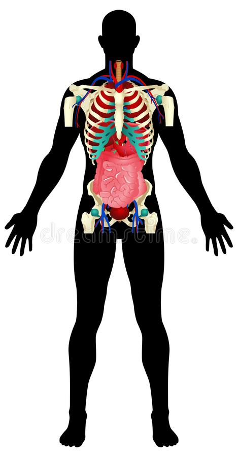 mänskliga organ royaltyfri illustrationer