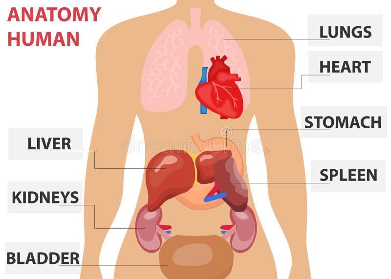 Mänskliga organ, placeringen av mänskliga organ i kroppen Mänsklig anatomi vektor illustrationer