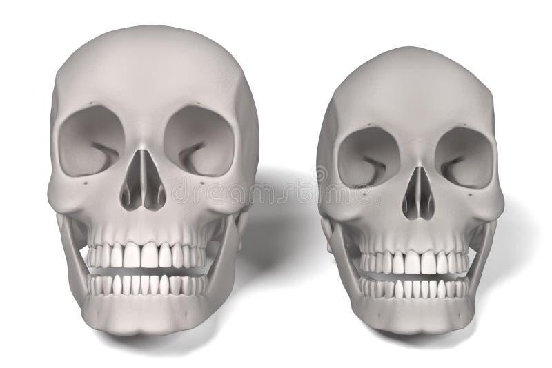 mänskliga skallar vektor illustrationer