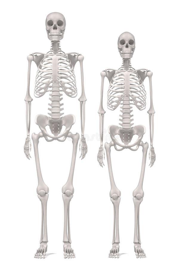 mänskliga skelett royaltyfri illustrationer