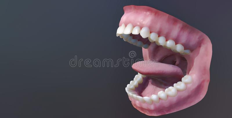 Mänskliga tänder, öppen mun Medically exakt illustration för tand 3D vektor illustrationer