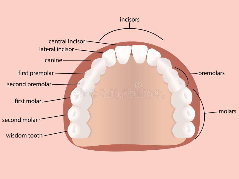 mänskliga tänder stock illustrationer