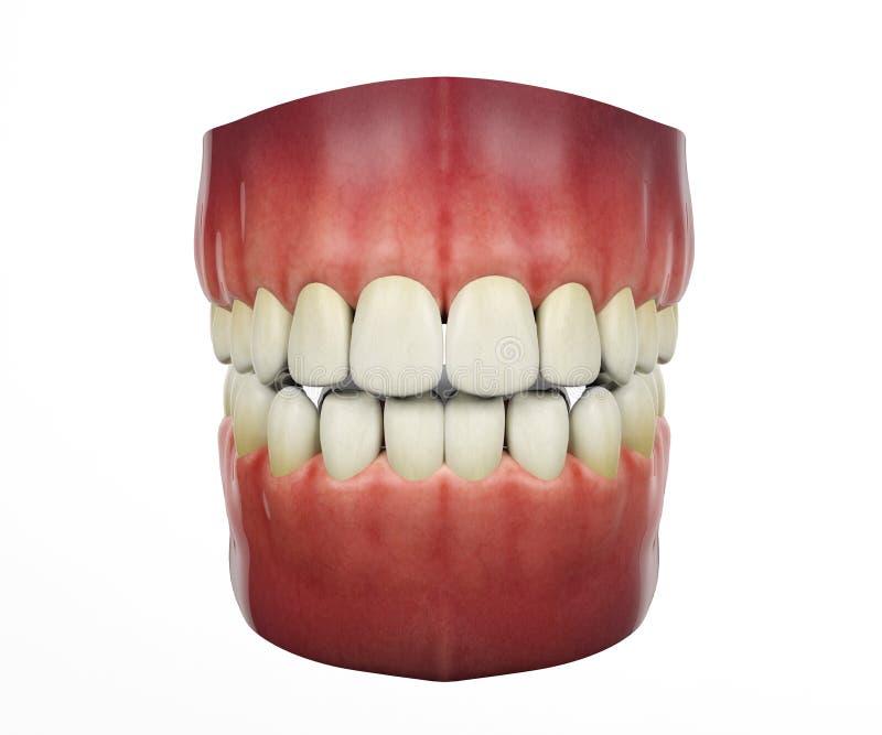 Mänskliga tänder på vit bakgrund vektor illustrationer