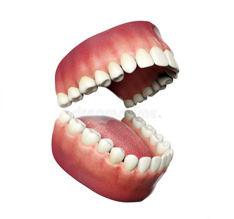 Mänskliga tänder som öppnar på vit bakgrund stock illustrationer