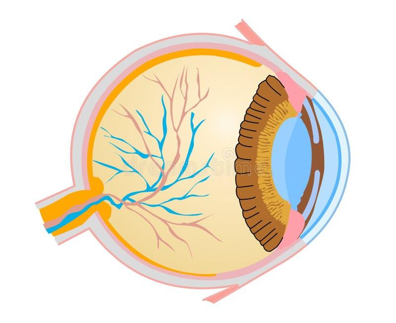 Mänskligt öga stock illustrationer