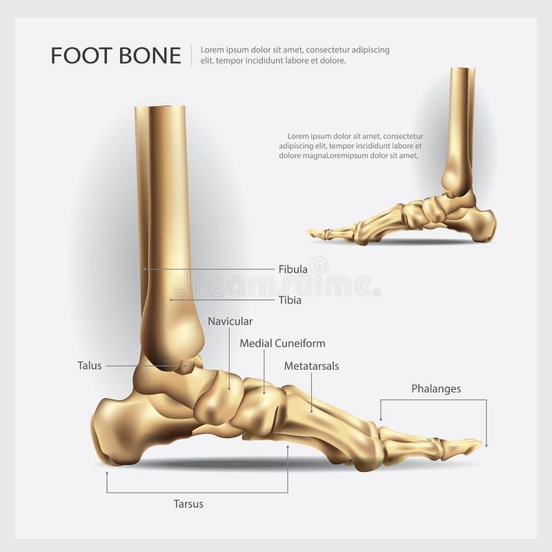 Mänskligt anatomifotben royaltyfri illustrationer