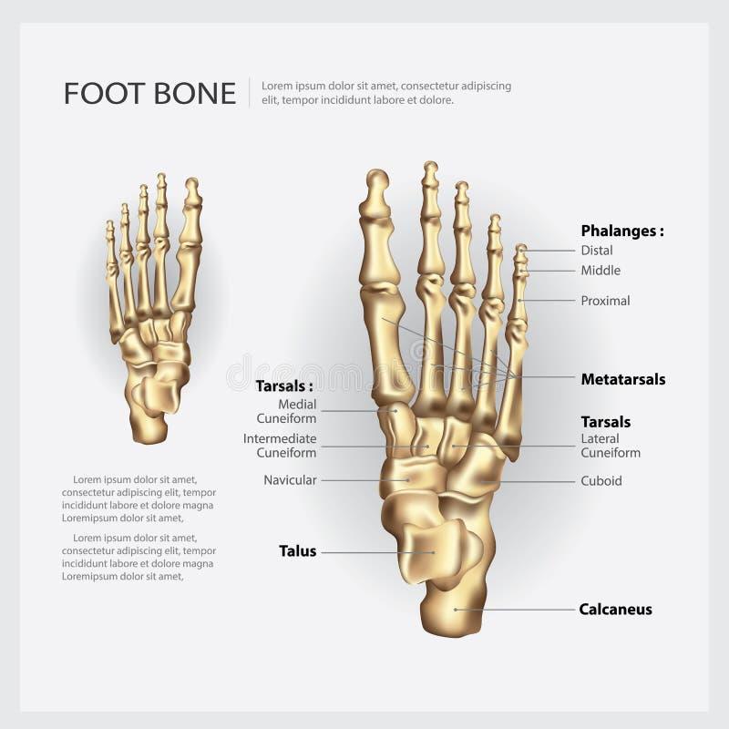Mänskligt anatomifotben vektor illustrationer