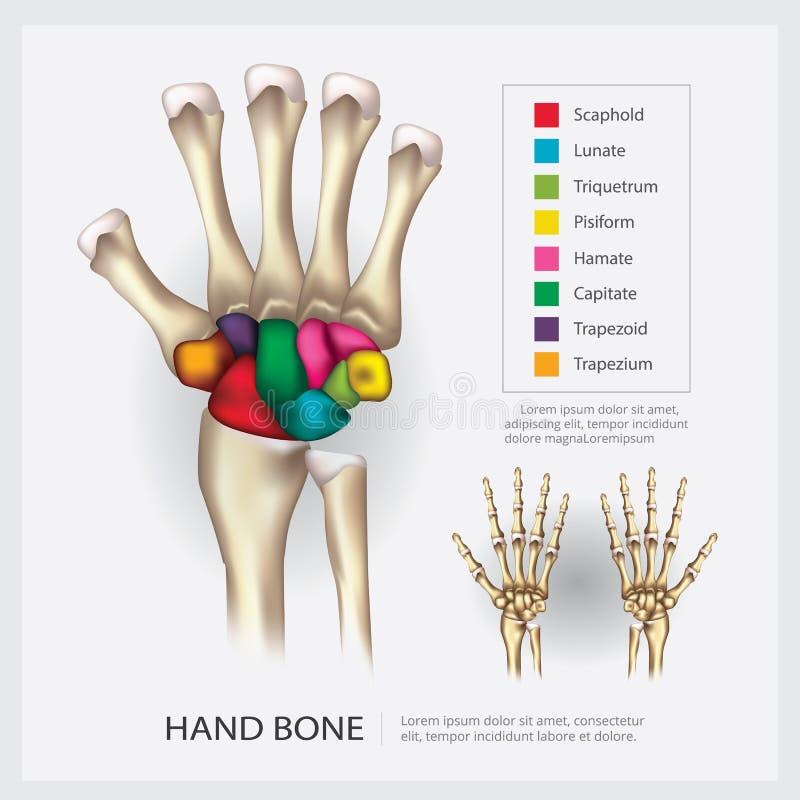 Mänskligt anatomihandben vektor illustrationer