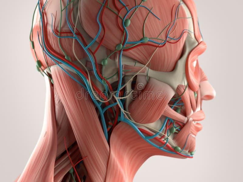 Mänskligt anatomivisningframsida och huvud stock illustrationer