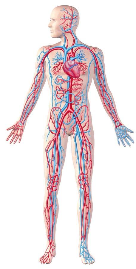 Mänskligt cirkulations- system, fullt diagram, jackettanatomiillustrat stock illustrationer