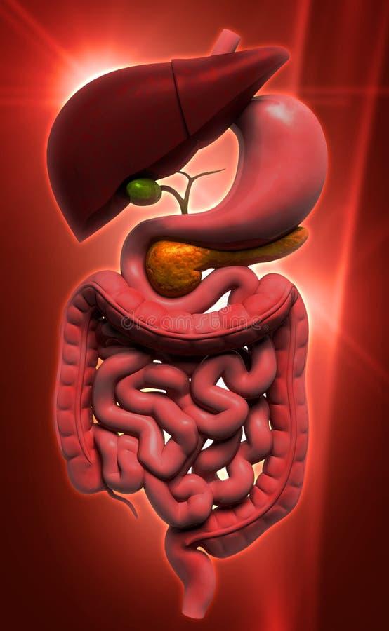 mänskligt digestivkexsystem royaltyfri illustrationer