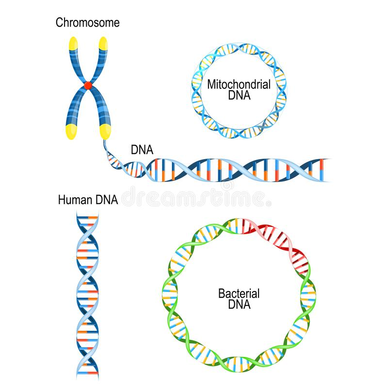 Mänskligt DNA - dubbel spiral, bakterie- DNA för rund prokaryotekromosom och Mitochondrial DNA vektor illustrationer