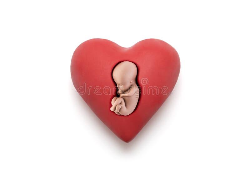 Mänskligt embryo i röd hjärta royaltyfria foton