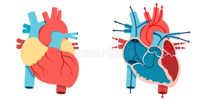 Mänskligt hjärta och blodflöde vektor illustrationer