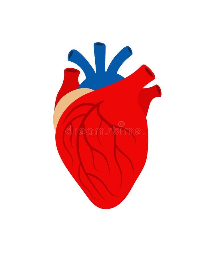 Mänskligt hjärtaorgan som isoleras på vit bakgrund stock illustrationer