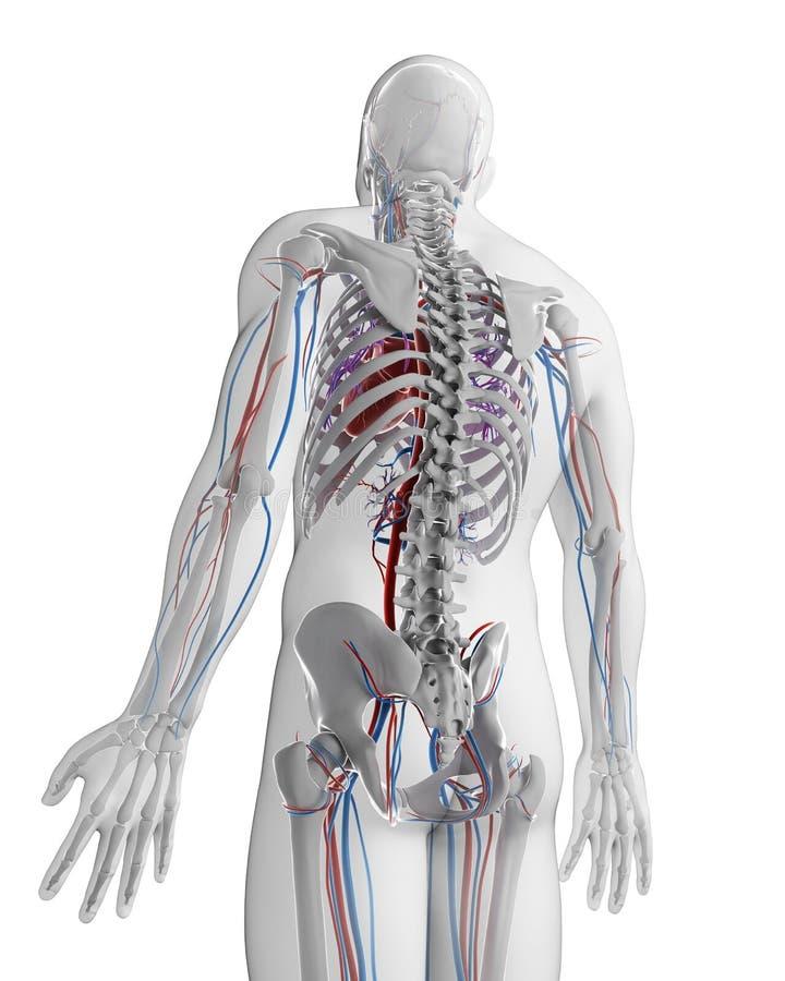 Mänskligt kärl- system vektor illustrationer