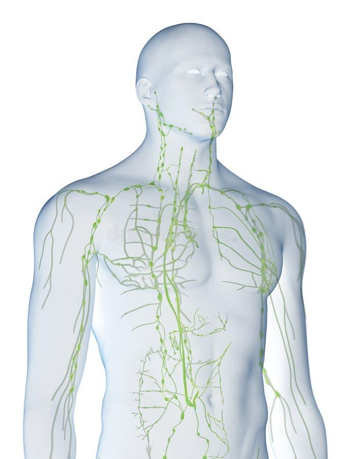 mänskligt lymphatic system royaltyfri illustrationer