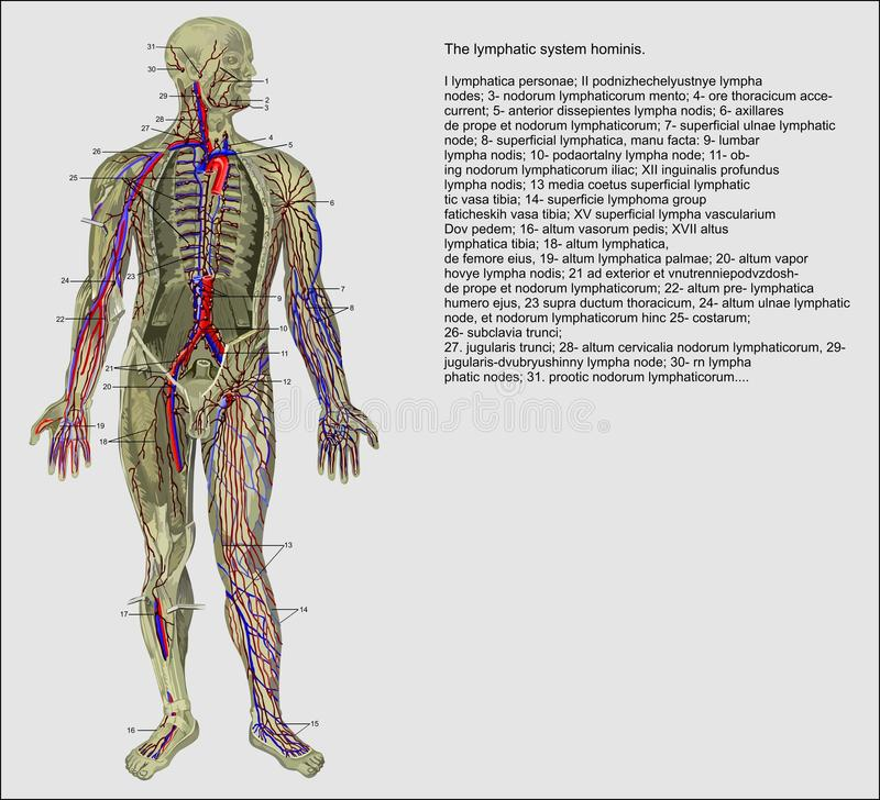 mänskligt lymphatic system stock illustrationer