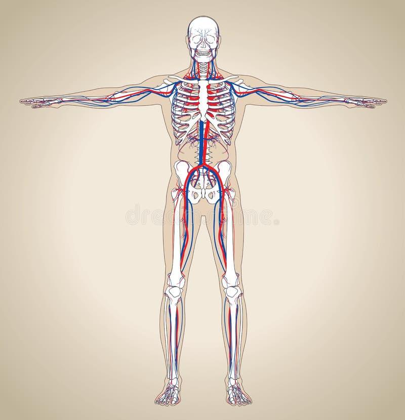 Mänskligt (manligt) cirkulations- system stock illustrationer