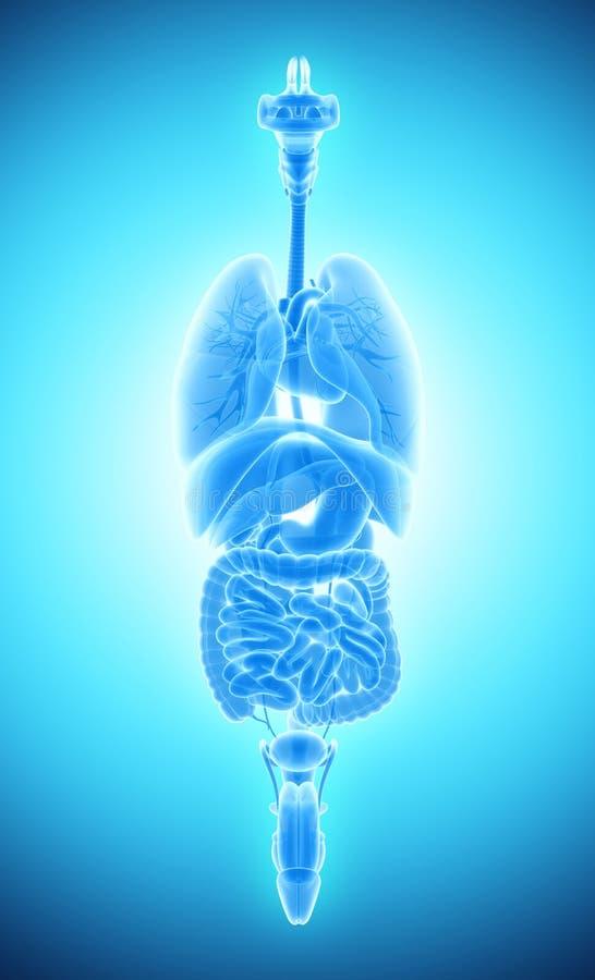 mänskligt manligt digestivkexsystem för röntgenstråle 3D royaltyfri illustrationer