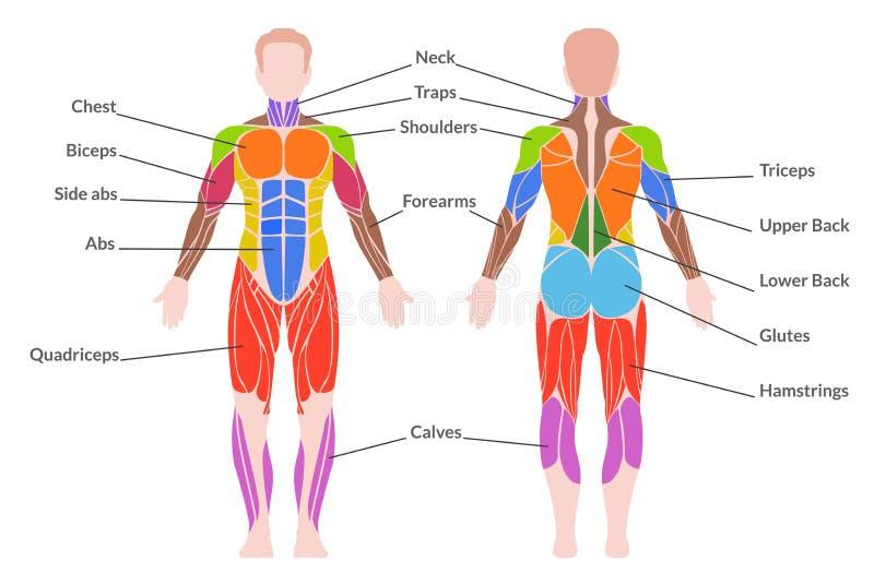 mänskligt muskulöst system royaltyfri illustrationer