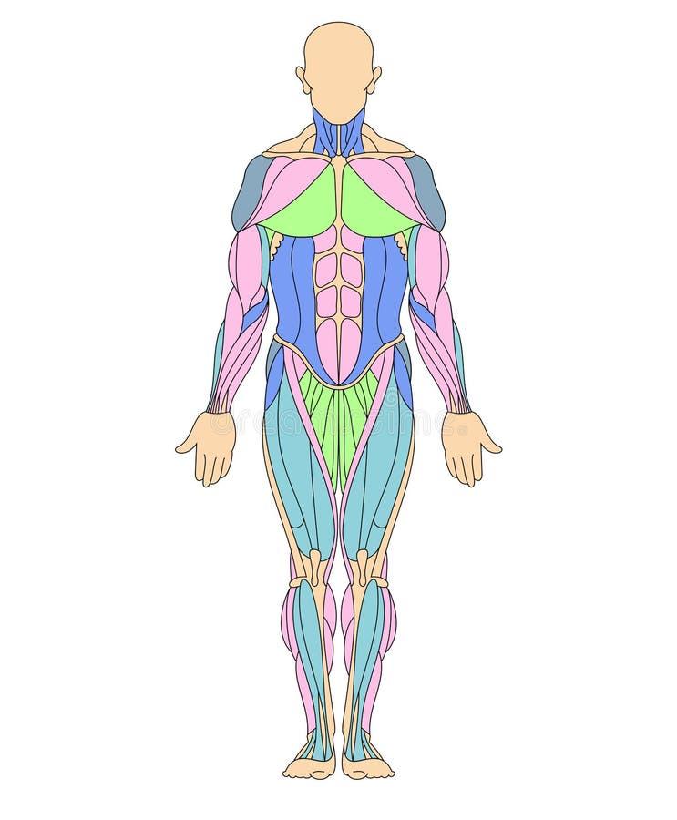 mänskligt muskulöst system stock illustrationer