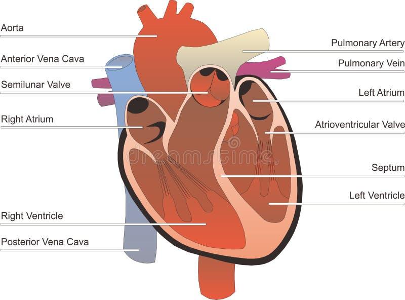mänskligt organ royaltyfri illustrationer