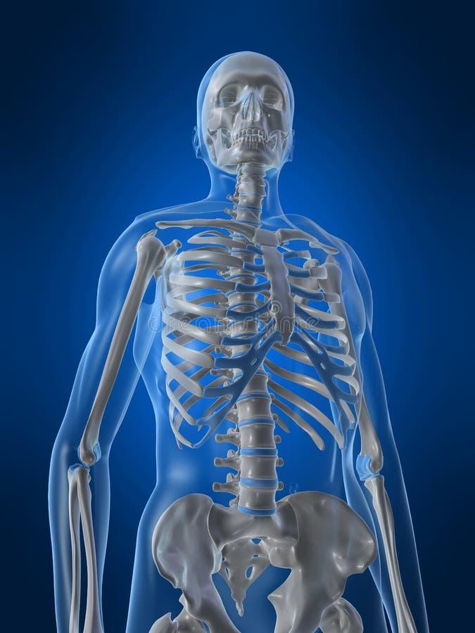 mänskligt skelett vektor illustrationer