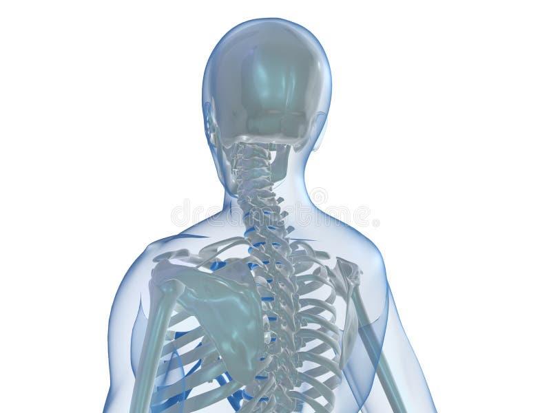 mänskligt skelett stock illustrationer