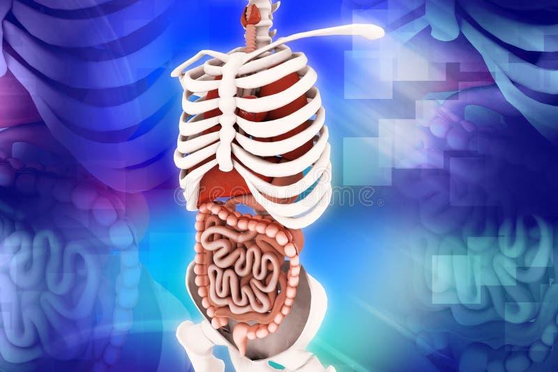 mänskligt system för digestivkex fotografering för bildbyråer