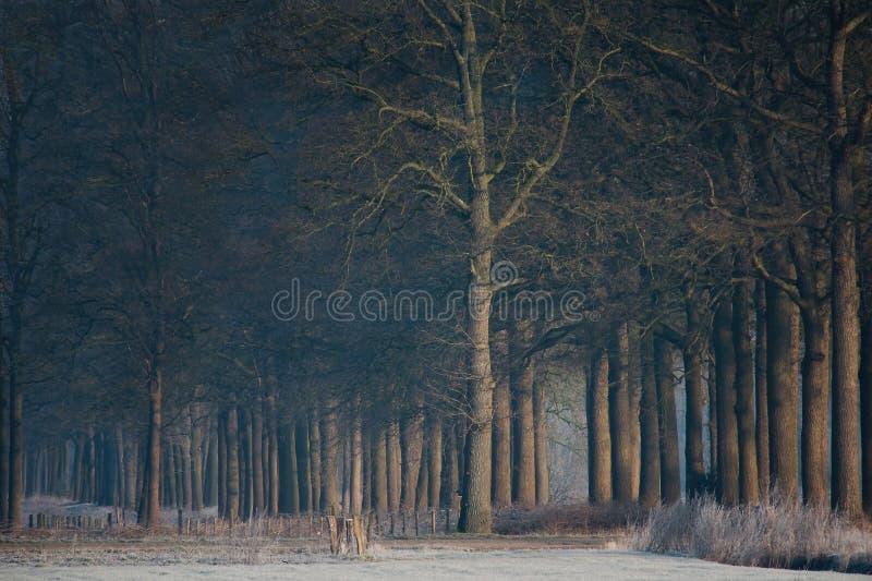 Märchenwald von hohen dünnen Bäumen lizenzfreies stockbild