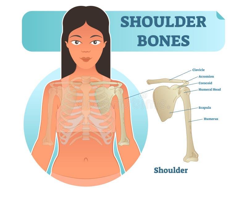Märkt mänskligt skuldraben anatomisk affisch för vektorillustrationdiagram vektor illustrationer