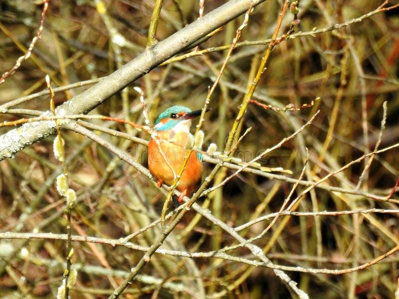 Mässingsfågel på vårträdfilialen, Litauen royaltyfri bild