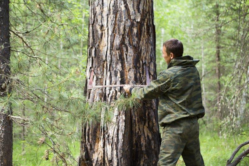 Mäta diametern av ett träd arkivbilder