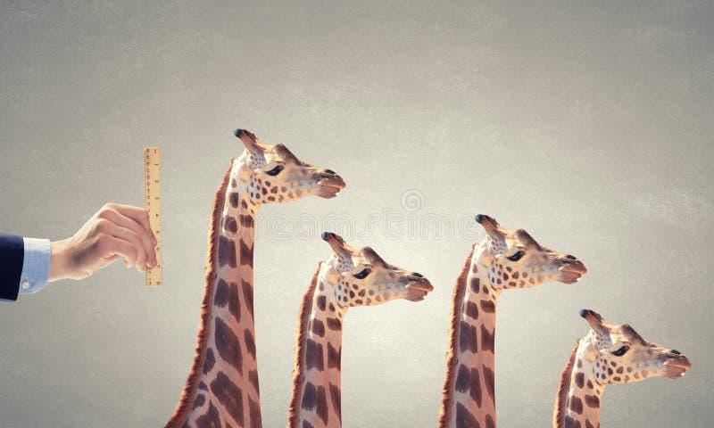 Mäta giraffet royaltyfri bild