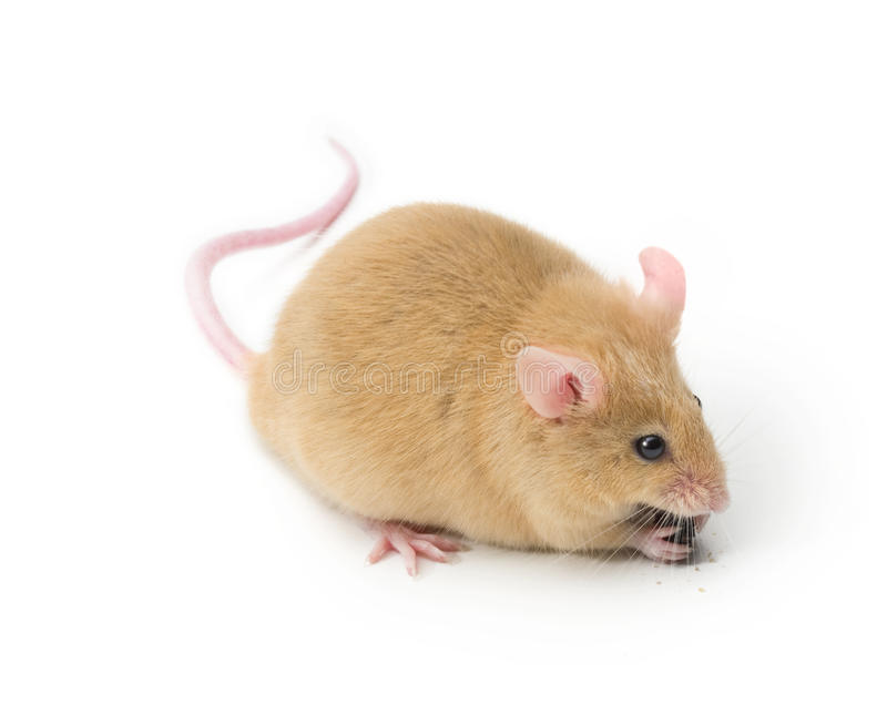 Mäuseessen lizenzfreies stockfoto