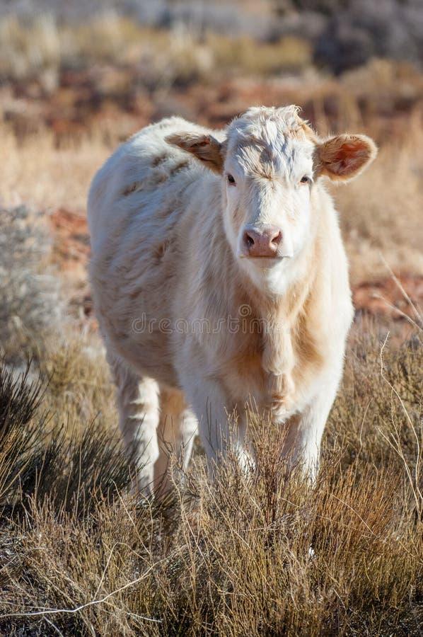 Młoda krowa na rancho obrazy stock