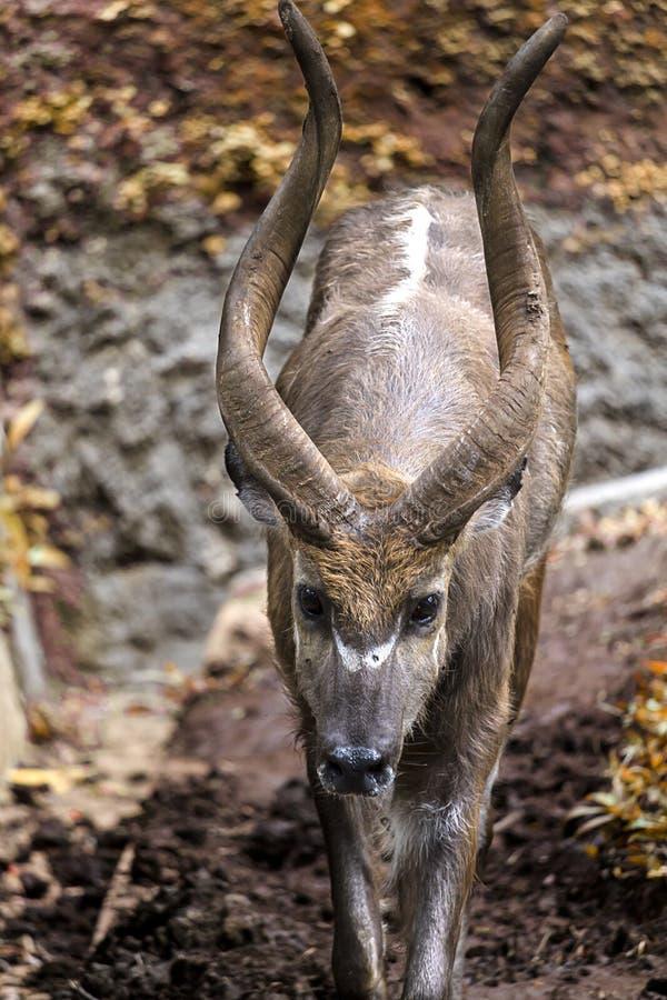 Młoda kudu samiec wędruje fechtującego się teren dla kudu zdjęcie stock