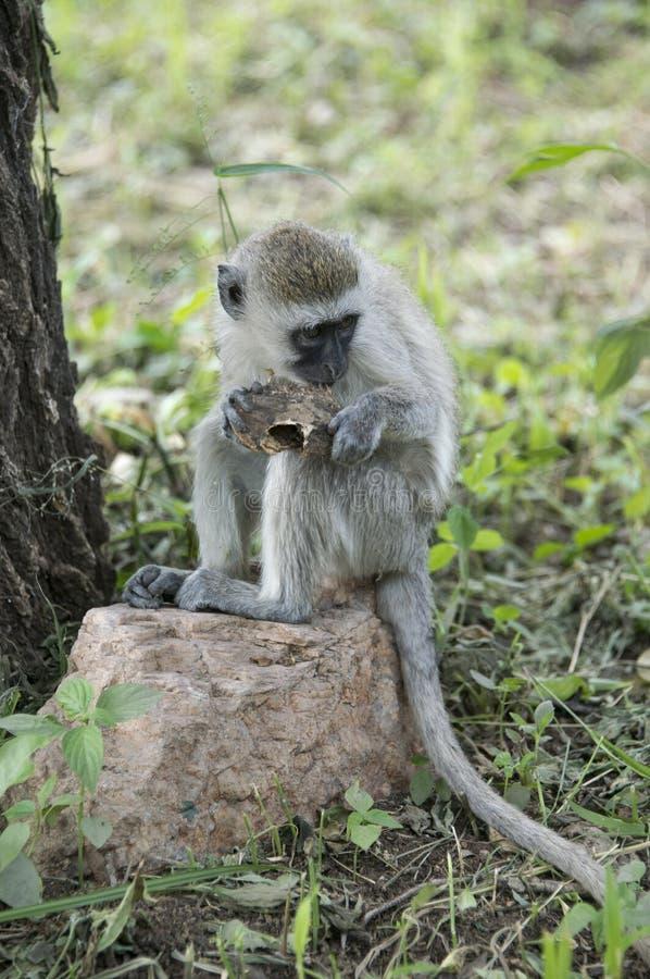 Młoda vervet małpa je niektóre jedzenie Afryka, ono zakłada w Tanzania obrazy royalty free