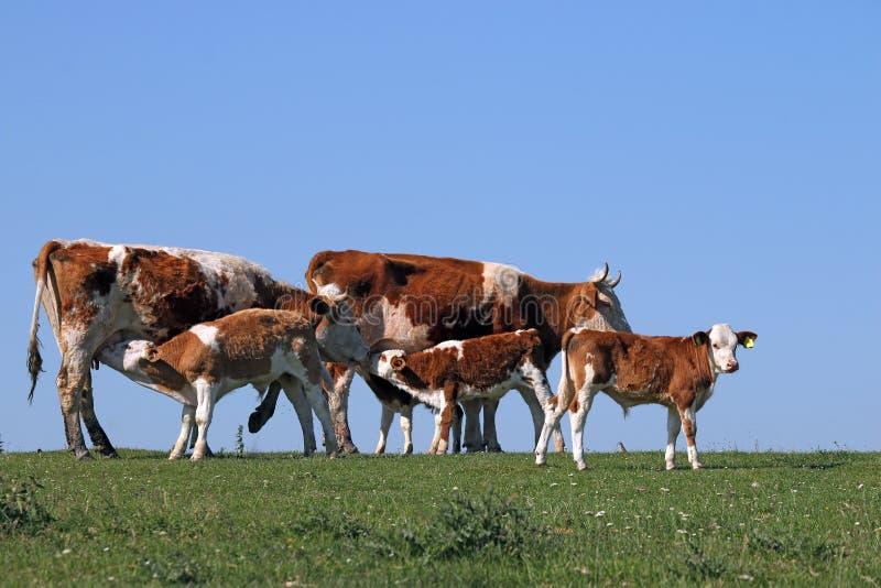 Młode łydki ssają mleko od krów zdjęcia stock